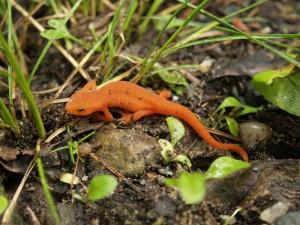 orange salamander