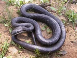 black-rat-snake-UofGeorgia