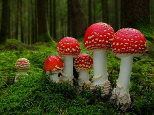 mushrooms-amanita-22